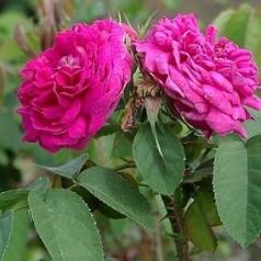 Rose De Rescht - Buskrose / Barrods