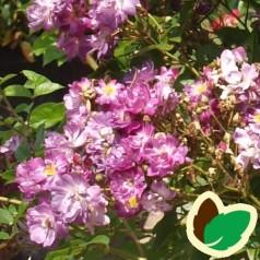 Rose Veilchenblau - Historisk rose / Klatrerose