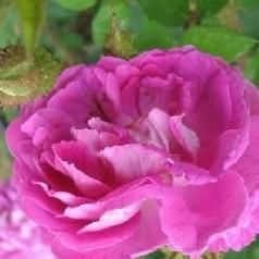 Rose Wiliam Lobb - Busk Rose / Barrods