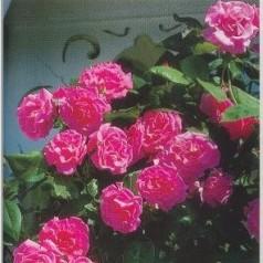 Rose Zephirine Drouhin - Historisk Rose / Barrods