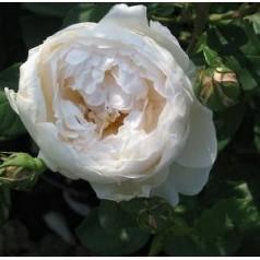 Rose Heritage - Engelsk Rose / Barrods