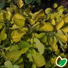 Cotinus coggygria Ancot (Golden Spirit) / Parykbusk