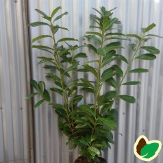 Prunus laurocerasus Novita - Laurbærkirsebær // 125-150 cm.