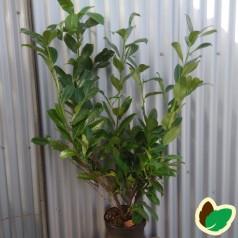 Prunus laurocerasus Rotundifolia - Laurbærkirsebær // 100-125 cm.
