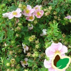 Buskpotentil Blink Princess 15-30 cm. - Bundt med 10 stk. barrodsplanter - Potentilla fruticosa Blink Princess*