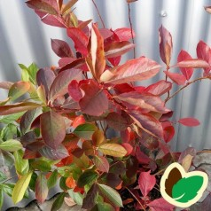 Blommebladet surbær Kolorit 20-40 cm. - Bundt med 10 stk. barrodsplanter - Aronia prunifolia Kolorit*