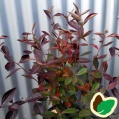 Rødfrugtet Surbær 40-60 cm. - Bundt med 10 stk. barrodsplanter - Aronia arbutifolia Ared
