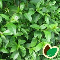 Liguster Atros 10 stk. 50-80 cm. barrods - Ligustrum vulgare Atros --