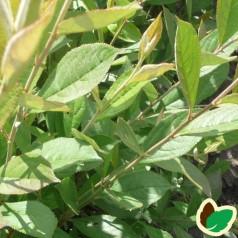 Brunfrugtet Surbær 20-40 cm. - Bundt med 10 stk. barrodsplanter - Aronia arbutifolia*