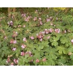 Geranium macrorrhizum Ingwersens Variety / Storkenæb