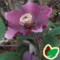 Helleborus orientalis abchasicus - Julerose Røde nuancer
