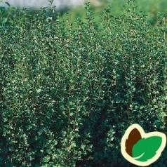 Fjeldribs Hemus (Han) 30-50 cm. - Bundt med 10 stk. barrodsplanter - Ribes alpinum Hemus