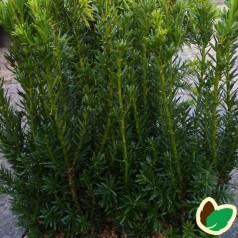 Søjletaks 20-25 cm. - 10 stk. barrodsplanter - Taxus media Hillii ¤