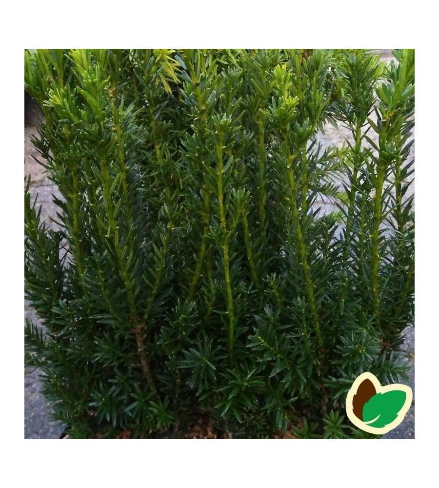 Søjletaks 25-35 cm. - 10 stk. barrodsplanter - Taxus media Hillii ¤