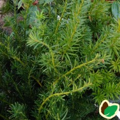 Taks Farmen 30-40 cm. - 10 stk. barrodsplanter - Taxus media Farmen ¤