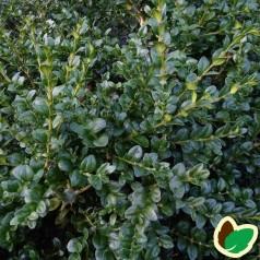 Buksbom Balder 15-25 cm. - 10 stk. barrodsplanter - Buxus sempervirens Balder ¤