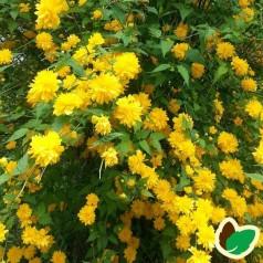 Ranunkelbusk 50-80 cm. - 10 stk. barrodsplanter - Kerria Japonica Pleniflora ¤