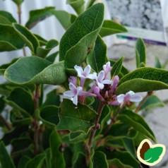 Syringa meyeri Flowerfesta White - Dværgsyren Hvid