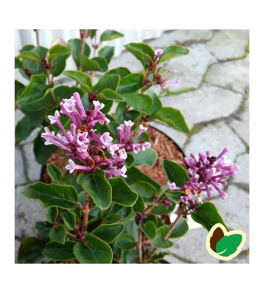 Syringa meyeri Flowerfesta Purple - Dværgsyren Lys Lilla