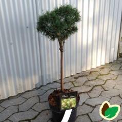 Pinus mugo Benjamin på 40 cm. stamme - Dværgfyr på stamme.