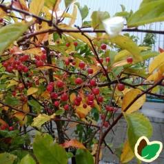 Sargents Æble 50-80 cm. - Bundt med 10 stk. barrodsplanter - Malus sargentii _