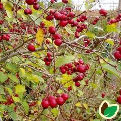 Skarlagentjørn 60-100 cm. - 10 stk. barrodsplanter - Crataegus Intricata _