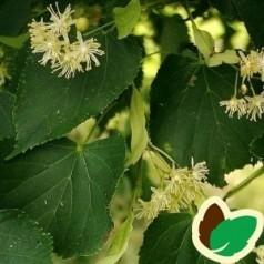Storbladet Lind 50-80 cm. - 10 stk. barrodsplanter - Tilia platyphylla