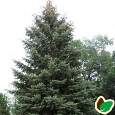 Hvidgran 30-50 cm. - Bundt med 10 stk. barrodsplanter - Picea glauca  _