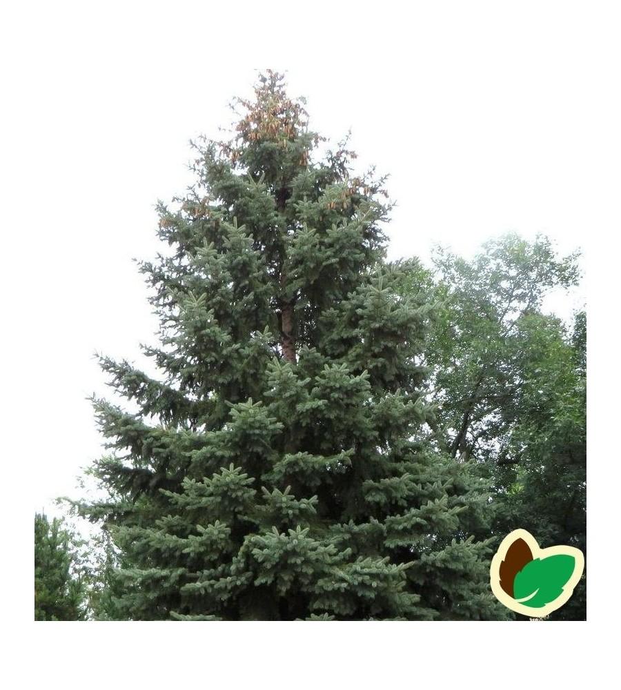 Hvidgran 50-80 cm. - Bundt med 10 stk. barrodsplanter - Picea glauca  _