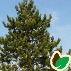 Østrisk Fyr 40-60 cm. - Bundt med 10 stk. barrodsplanter - Pinus nigra austriaca