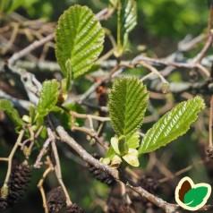 Grønel 30-50 cm. - Bundt med 10 stk. barrodsplanter - Alnus viridis _