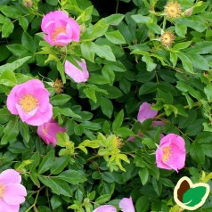 Glansbladet rose 30-50 cm. - Bundt med 10 stk. barrodsplanter - Rosa virginiana _