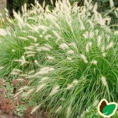 Pennisetum alopecuroides Hameln / Lampepudsergræs