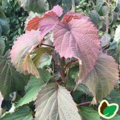 Davidia involucrata Crimson Spring - Duetræ