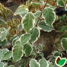 Cornus kousa Samaritan - Hvidrandet Blomsterkornel