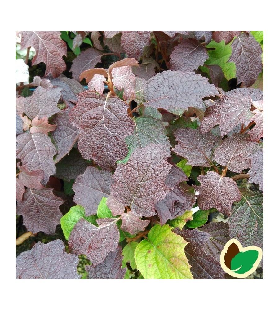 Hydrangea quercifolia Burgundy / Egebladet Hortensia
