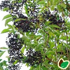 Storfrugtet Hyld Sampo 60-100 cm. 10 stk. barrodsplanter - Sambucus nigra Sampo _
