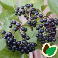 Storfrugtet Hyld Samyl 80-120 cm. 10 stk. barrodsplanter - Sambucus nigra Samyl _