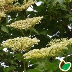 Storfrugtet Hyld Sambu 80-120 cm. 10 stk. barrodsplanter - Sambucus nigra Sambu _