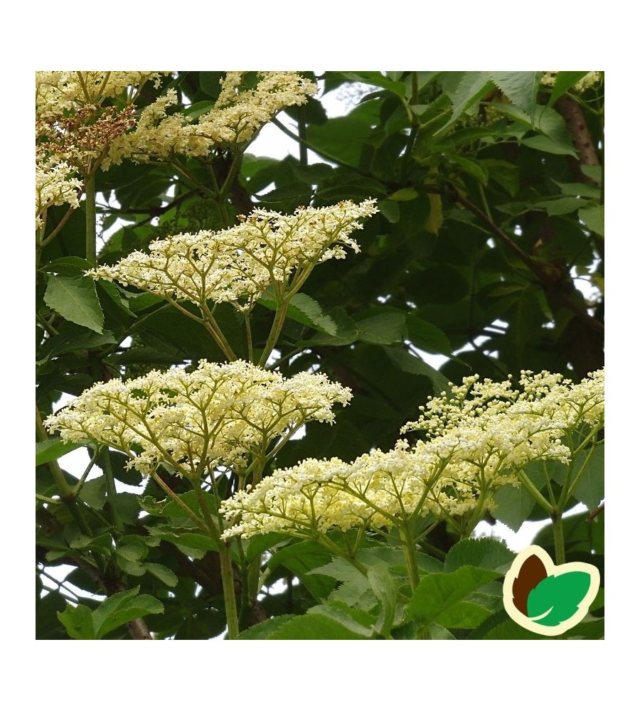 Storfrugtet Hyld Sambu 60-100 cm. 10 stk. barrodsplanter - Sambucus nigra Sambu _