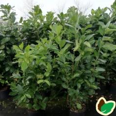 Prunus laurocerasus Rotundifolia - Laurbærkirsebær // 150-175 cm.
