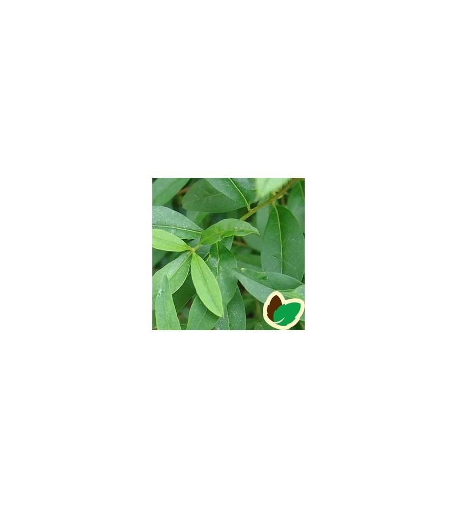 Ligustrum vulgare - Løvfældende Liguster / 10 stk. 50-80 cm. barrods - S