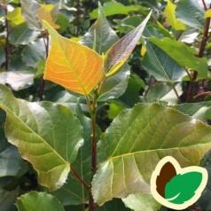 Populus balsamifera - Balsampoppel / 10 stk. 60-100 cm. barrods - S