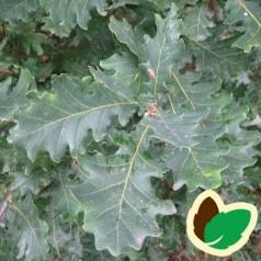 Quercus petrea - Vintereg / 10 stk. 30-50 cm. barrods