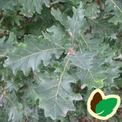 Vintereg 30-50 cm. - Bundt med 10 stk. barrodsplanter - Quercus petrea _