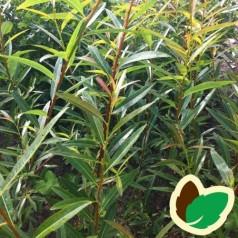 Salix acutifolia - Kaspisk pil / 10 stk. 60-100 cm. barrods - S