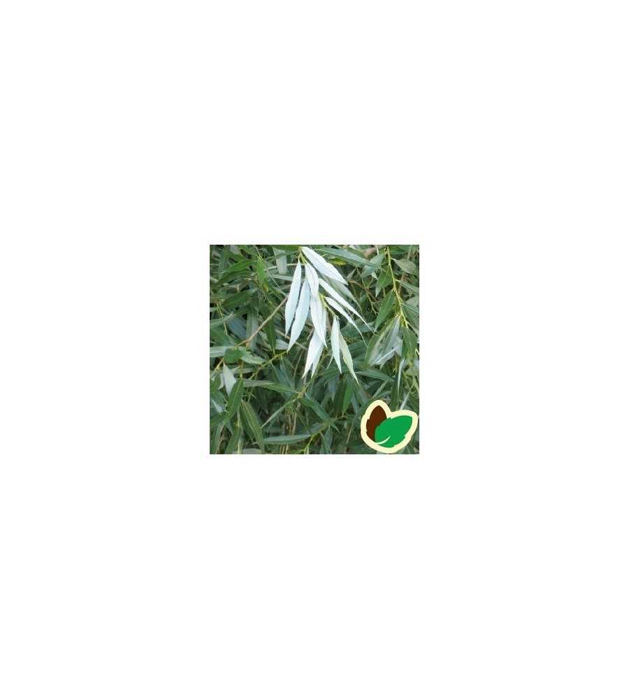 Sølvpil 10 stk. 40-60 cm. barrods - Salix alba Sericea - s