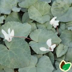 Cyclamen hederifolium Silverleaf Alba / Alpeviol