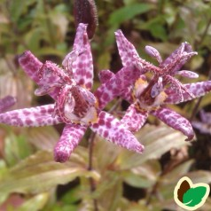 Tricyrtis formosana Purple Beauty / Tudselilje