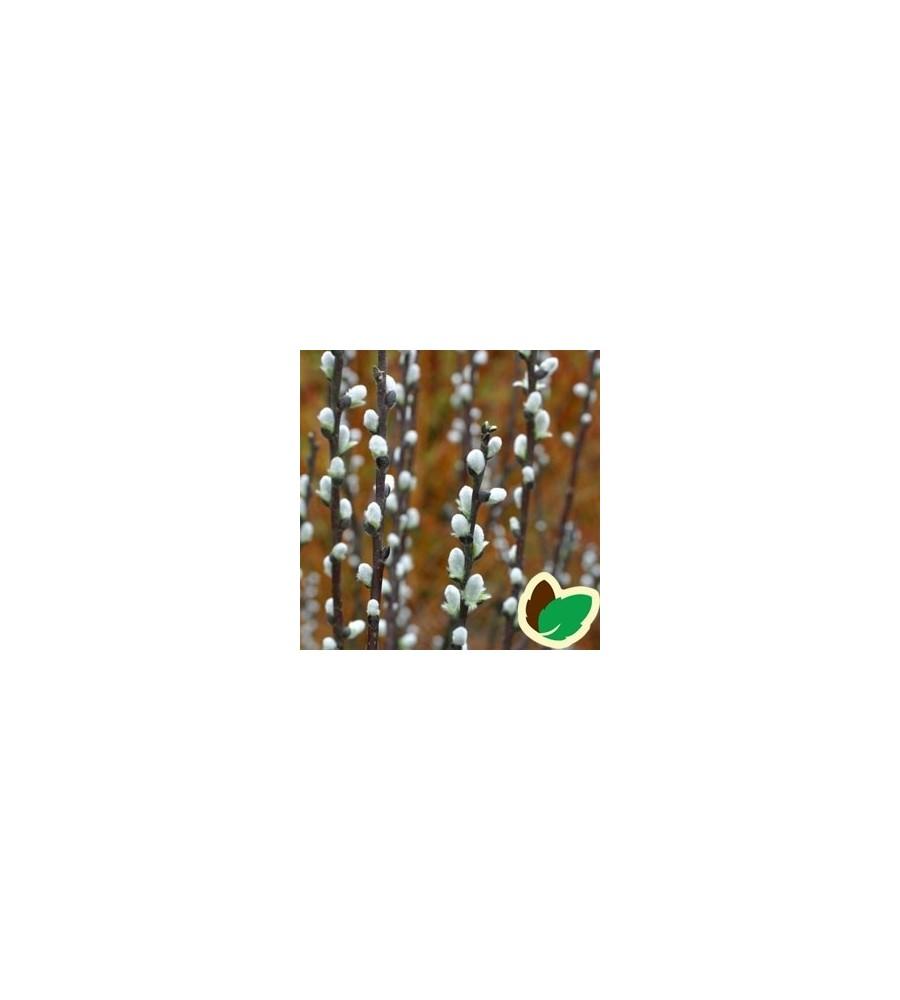 Spydpil 10 stk. 15-30 cm. barrods - Salix hastata Wehrhahnii - s